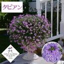 草花の苗/宿根バーベナ:タピアンラベンダー3号ポット