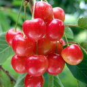 果樹の苗/サクランボ:YD(ワイダイ)ナポレオン4.5号ポット