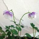 草花の苗/風鈴オダマキ:二色咲き(咲き分け)2.5号ポット2株セット