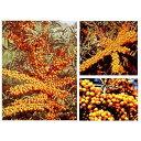 果樹の苗/シーベリー受粉セット:メス木3種とオス木のセット[02P03Dec16]