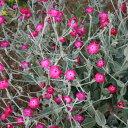 草花の苗/リクニス:アトロサンギネス3号ポット2株セット