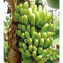 果樹の苗/バナナ:サンジャクバナナ(三尺バナナ)メリクロン苗3.5号ポット