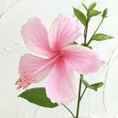 草花の苗/ハイビスカス:ピンクバタフライ(園芸種)3号ポット