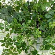 観葉植物/パセノシッサスシュガーバイン 3号ポット苗2株セット