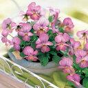 草花の苗/ビオラ:ビビ ピンクアンティーク3〜3.5号ポット8株セット
