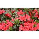 花木 庭木の苗/久留米ツツジ:花遊び(はなあそび)5号ポット5株セット