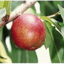 果樹の苗/ネクタリン:フレーバートップ4〜5号ポット