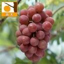 果樹の苗/ブドウ:アキクイーン(安芸クイーン)挿木苗5号ポット