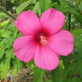 花木 庭木の苗/宿根ハイビスカス:タイタンビカス:ローズ3.5号ポット