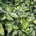 花木 庭木の苗/アオキ:スターダスト5号ポット樹高30cm 8株セット