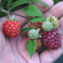 果樹の苗/トゲなしラズベリー:グレンモイ3〜5号ポット