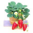 野菜の苗/イチゴ:あきひめ(章姫)3号ポット12株セット