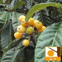 果樹の苗/ビワ:茂木(モギ)4〜5号ポット