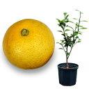 果樹の苗/鉢植え果樹 カボス8号鉢植え