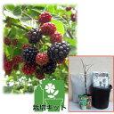 果樹の苗/ブラックベリーの果樹鉢・オベリスク栽培セット