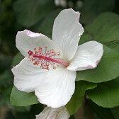 草花の苗/ハイビスカス:アーノッティアヌス3号ポット
