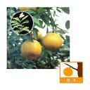 【ラッキーシール対応】果樹の苗/グレープフルーツ:スタールビー(赤)4〜5号ポット
