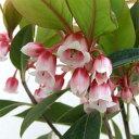 花木 庭木の苗/ホンコンドウダンツツジ:ピンクシャンデリア4〜4.5号ポット