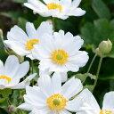 草花の苗/シュウメイギク(秋明菊):白花八重3〜3.5号ポット2株セット