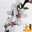 果樹の苗/ユスラウメ:赤実4?5号ポット