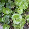 草花の苗/ツワブキ3〜3.5号ポット2株セット