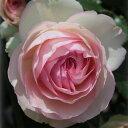樹高約1.2m 返り咲き・殿堂入りのバラ