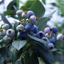 果樹の苗/ブルーベリー:あまつぶ星4.5号ポット