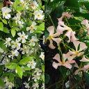草花の苗/テイカカズラ:2種(白・桃) 2株セット