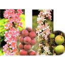 果樹の苗/バレリーナツリー2種2本セット(メイポールとボレロ)