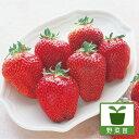 野菜の苗/イチゴ:ジャンボイチゴまんぷく2号大苗4号ポット