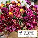草花の苗/パンジー:ムーランフリルローザミックス3.5号ポット3株セット [02P03Dec16]