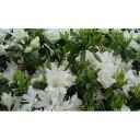 花木 庭木の苗/久留米ツツジ:暮の雪(くれのゆき)5号ポット5株セット