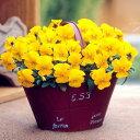 草花の苗/ビオラ:ビビ クリアイエローインプ3〜3.5号ポット12株セット