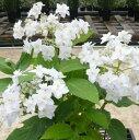 花木 庭木の苗/アジサイ:ヨウラクタマアジサイ5号ポット