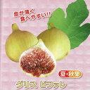 果樹の苗/甘~いミニイチジク:グリスビファレ3号ポット