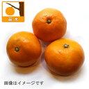 果樹の苗/ウンシュウミカン:うえのわせ(上野早生)4〜5号ポット