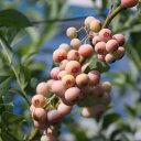 果樹の苗/ブルーベリー:フロリダローズ5号ポット