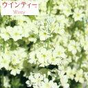 草花の苗/サクラソウ:ウインティーライムグリーン3.5号ポット
