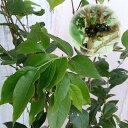果樹の苗/ジャボチカバ6号鉢植え