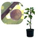 果樹の苗/鉢植え果樹 イチジク:ブリジャソット・グリース8号鉢植え