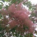 花木 庭木の苗/スモークツリー:フレーム樹高1m根巻きまたはポット