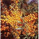 【ラッキーシール対応】果樹の苗/シーベリー(沙棘・サジー):アスコラ(メス木)3〜3.5号ポット