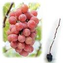 果樹の苗/ブドウ:アキクイーン(安芸クイーン)接木苗4〜5号ポット