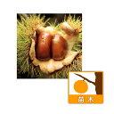 果樹の苗/栗(クリ):岸根(がんね)4〜5号ポット