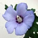 花木 庭木の苗/ ムクゲ(槿):ブルーサーティン5号ポット