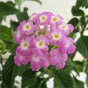 草花の苗/コバノランタナ:パープル3号ポット