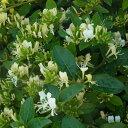 草花の苗/長尺つるもの:スイカズラ5号ポット長さ1.5m