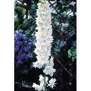 草花の苗/デルフィニウム:マジックフォンテンピュアホワイト3号ポット6株セット