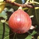 【ラッキーシール対応】果樹の苗/イチジク:コハク(ドウロウ)5号ポット