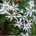 草花の苗/リクニス:ホワイトロビン3〜3.5号ポット2株セット